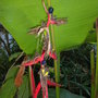 Heliconia schiedeana - Claw Flower Bracts with seeds (Heliconia schiedeana - Claw Flower)