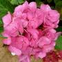 Hydrangea 'Tovelit' (Hydrangea Macrophylla 'Tovelit')