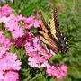 Tiger Swallowtail Female
