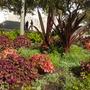 Queen Emma Lilies (Crinum amabile), Coleus, Euphorbia 'Diamond Frost' (Queen Emma Lilies (Crinum amabile), Coleus, Euphorbia 'Diamond Frost')