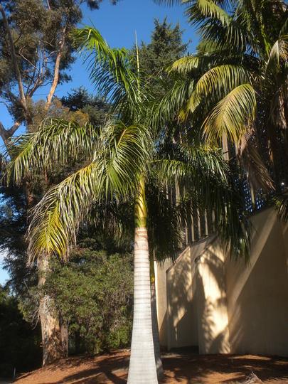 Roystonea regia - Royal Palms (Roystonea regia - Royal Palm)