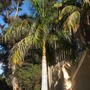 Roystonea regia - Royal Palms (Roystonea regia - Royal Palm)