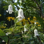 Clematis integrifolia, 'alba' in late summer (Clematis integrifolia (Clematis))