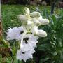 Delphinium 'Percival'