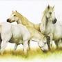 Camargue_horses