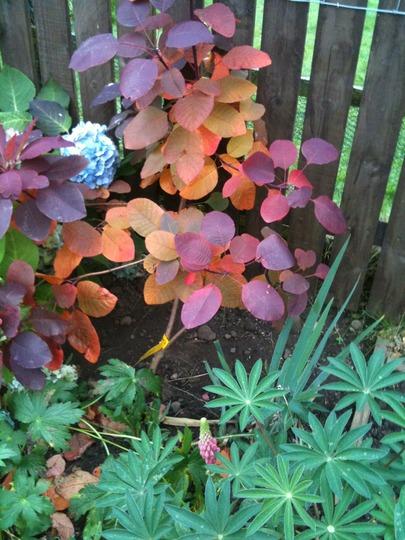 Autumn colour 'Cotinus Grace' (Cotinus 'Grace')