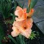 Gladioli_flower