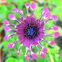 Whirligig_pink_6_09_08_exc_med