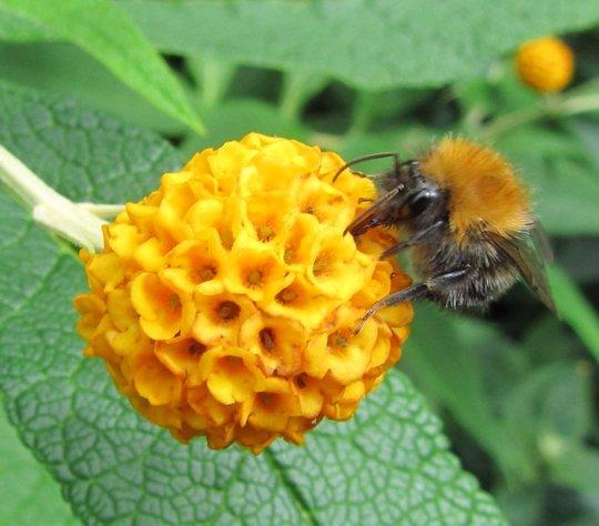 Buddleja globosa and Common Carder-bee (Buddleja globosa (Orange ball tree))