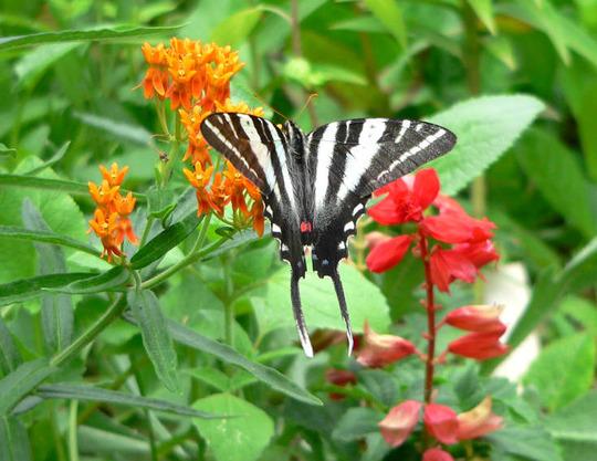 Zebra Swallowtail (Asclepias tuberosa)
