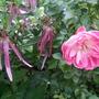 Rose & Campanula (Campanula punctata (Bellflower))