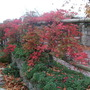 The path to the front gate. (Parthenocissus thomsonii)