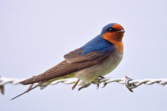 New Zealand Welcome Swallow