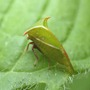 Adult Buffalo Treehopper