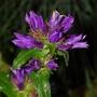 Campanula glomerata (Campanula glomerata (Clustered bellflower))