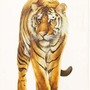 Prowling_tiger