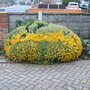 Long_view_of_yellow_chrysant