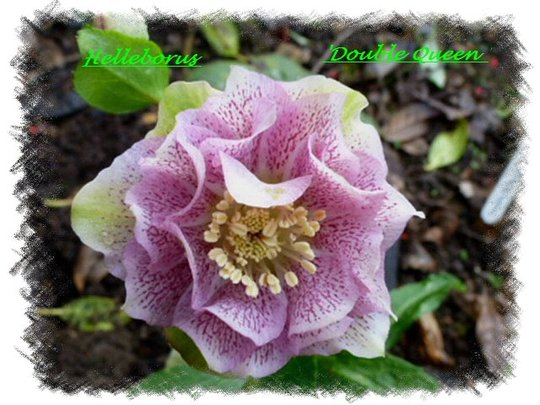 Helleborus  ' Double Queen '