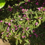 Ruellia makoyana - Monkey Plant Ruellia