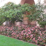 Camellia japonica - Camellia, Richmond Begonia