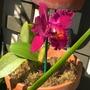 Burgundy Cattleya Orchid (Burgundy Cattleya Orchid)