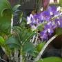 Dendrobium species? (Dendrobium species)