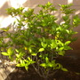 Tabernaemontana divaricata 'Flore Pleno' - Crepe Jasmine (Tabernaemontana divaricata 'Flore Pleno' - Crepe Jasmine)