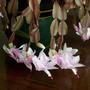 xmas cactus. pink 1 (zygocactus truncatus)