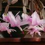 xmas cactus pink 2 (Zygocactus truncatus)