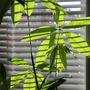 Money Plant - Pachira aquatica (pachira aquatica)