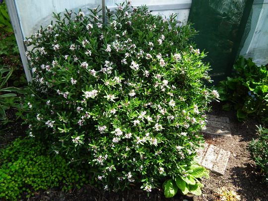 Daphne x transatlantica Eternal fragrance (Daphne x transatlantica Eternal fragrance)