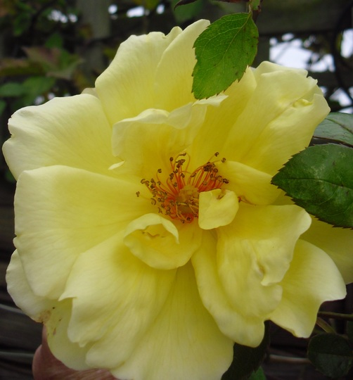 Rose  'Golden Showers' (Rosa Golden Showers)