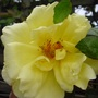 Cimg5197yellow_rose