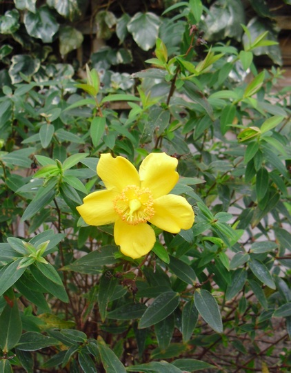 Hypericum 'Rose of Sharon'