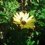 Late November Bee on a still flowering Osteospermum