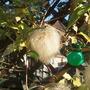 Old Mans Beard! (Clematis tangutica (Clematis))