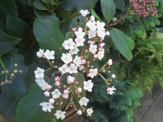 Flowering on time! (Viburnum tinus (Laurustinus))