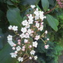 Flowering on time! (Viburnum tinus (Laurustinus))