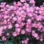 Chrysanthemum_1