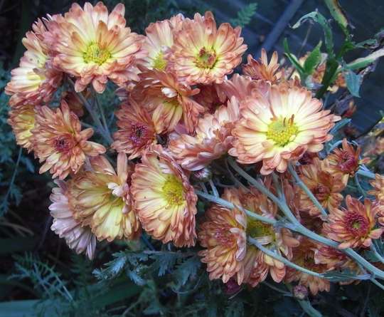 Chrysanthemum 2 (Chrysanthemum)