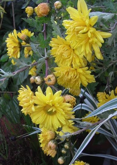 Chrysanthemum 3 (Chrysanthemum)