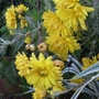 Chrysanthemum_3