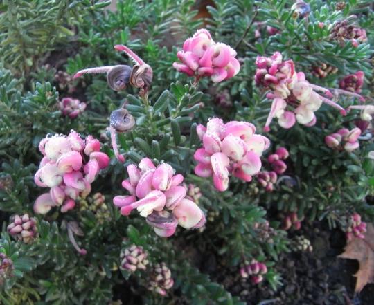 Grevillea lanigera 'Mount Tamboritha' - 2011 (Grevillea lanigera 'Mount Tamboritha')