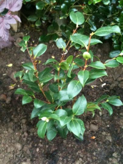 Camellia japonica Elegans (Camellia japonica Elegans)