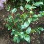 Camellia_curved_shrub_border