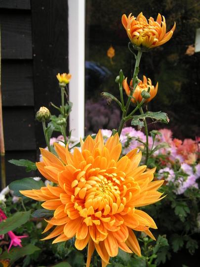 Chrysanthemum bronze