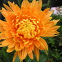 Chrysanthemum_bronze