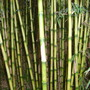 Mike_bell_s_bamboos_aug_2011_004