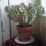 My Jade PLant (money plant)