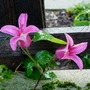 Clematis_princess_diana_nov.